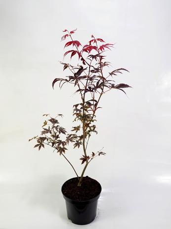 Acer palmatum Bloodgood (Klon palmowy 'Bloodgood')
