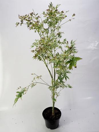 Acer palmatum Butterfly (Klon palmowy 'Butterfly')