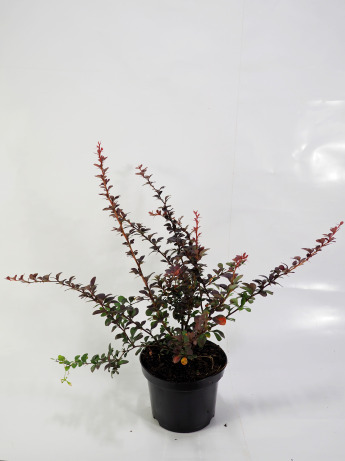 Berberis thunbergii Dart's Red Lady (Berberys Thunberga 'Dart`s Red Lady')
