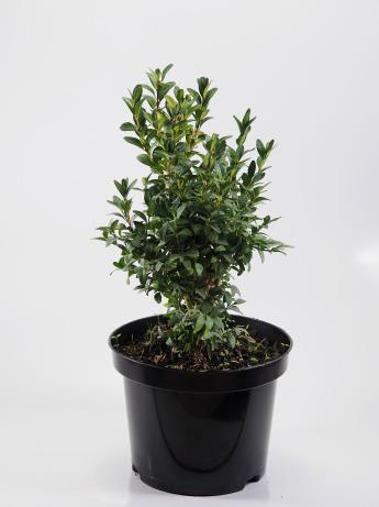 Buxus sempervirens (Bukszpan wieczniezielony)