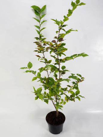 Carpinus betulus (Grab pospolity)