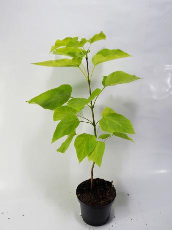 Catalpa bignonioides Aurea (Surmia bignoniowa 'Aurea')