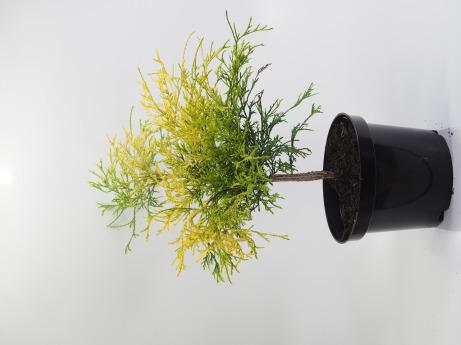 Chamaecyparis pisifera Filifera Aurea Nana (Cyprysik groszkowy 'Filifera Aurea Nana')