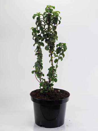 Cornus alba Hessei (Dereń biały 'Hessei')