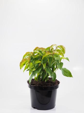 Cornus sericea Kelsey (Dereń rozłogowy 'Kelseyi')