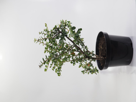 Cotoneaster horizontalis (Irga pozioma)