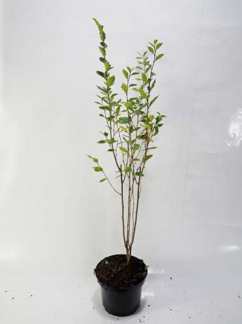 Cotoneaster lucidus (Irga błyszcząca)