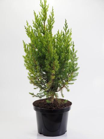 Juniperus chinensis Stricta (Jałowiec chiński 'Stricta')