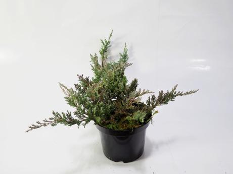 Juniperus horizontalis Blue Chip (Jałowiec płożący 'Blue Chip')