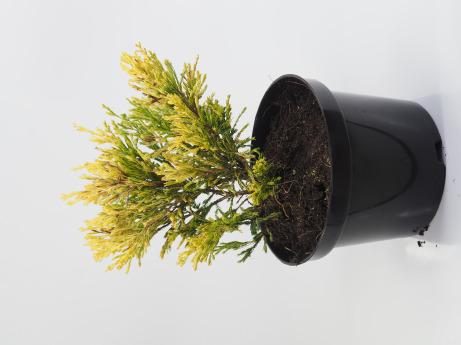 Juniperus horizontalis Lime Glow (Jałowiec płożący 'Limeglow')