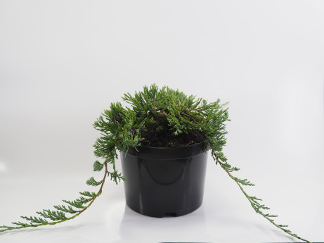 Juniperus horizontalis Wiltonii (Jałowiec płożący 'Wiltonii')