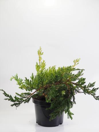 Juniperus squamata Blue Carpet (Jałowiec łuskowaty 'Blue Carpet')