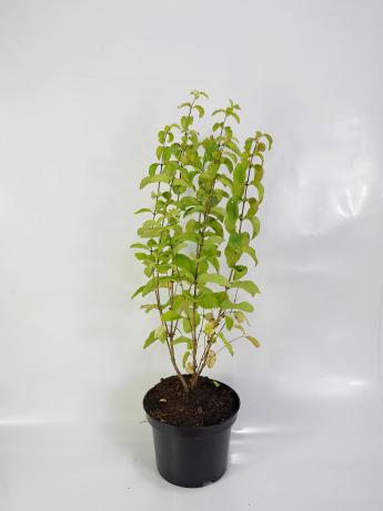 Lonicera xylosteum (Suchodrzew zwyczajny)
