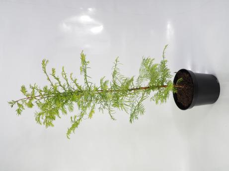 Metasequoia glyptostroboides (Metasekwoja chińska)