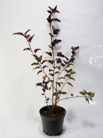 Physocarpus opulifolius Red Baron (Pęcherznica kalinolistna 'Red Baron')