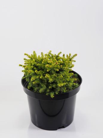 Picea abies Little Gem (Świerk pospolity 'Little Gem')