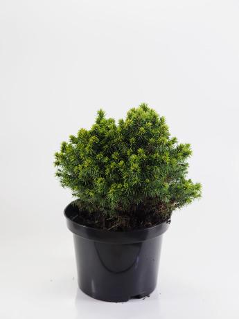 Picea glauca Alberta Globe (Świerk biały 'Alberta Globe')