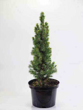 Picea glauca Conica (Świerk biały 'Conica')