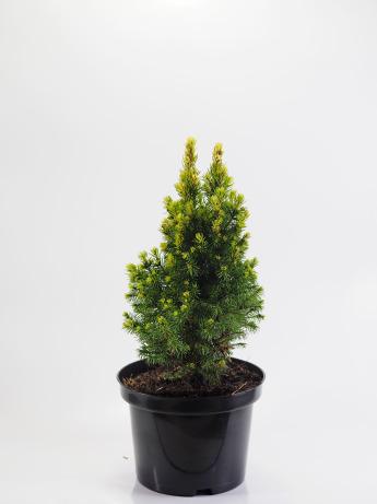 Picea glauca Rainbow's End (Świerk biały 'Rainbow's End')