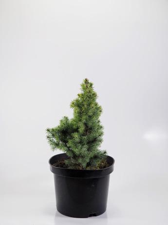 Picea glauca Sander's Blue (Świerk biały 'Sander's Blue')