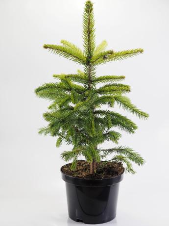 Picea pungens glauca (Świerk kłujący 'Glauca')
