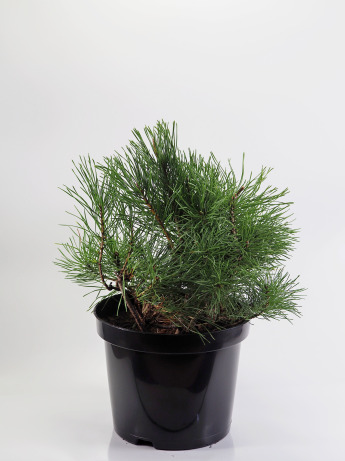 Pinus mugo mughus (Kosodrzewina)