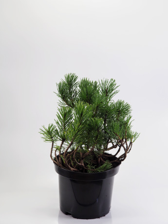 Pinus mugo mughus/pumilio (Sosna górska mughus/pumilio)