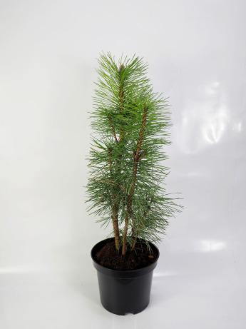 Pinus nigra Pyramidalis (Sosna czarna 'Pyramidalis')