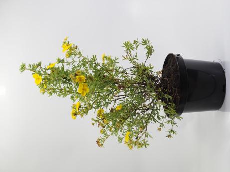 Potentilla fruticosa Goldstar (Pięciornik krzewiasty 'Goldstar')