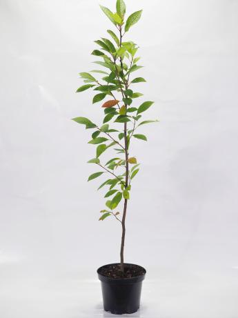Prunus padus (Czeremcha pospolita)
