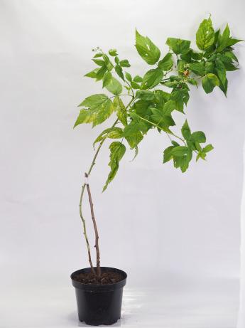 Rubus idaeus (Malina właściwa)