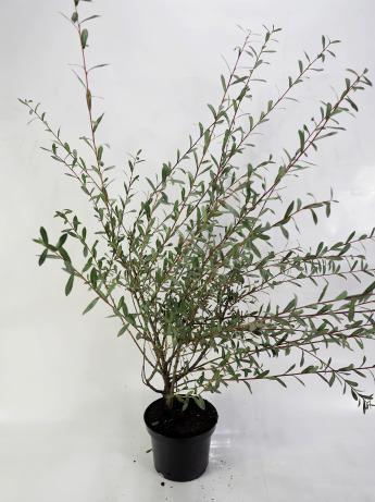 Salix purpurea Nana (Wierzba purpurowa 'Nana')