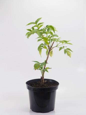 Sambucus nigra (Bez czarny)