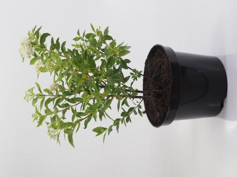 Spiraea japonica Albiflora (Tawuła japońska 'Albiflora')