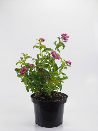 Spiraea japonica Crispa (Tawuła japońska 'Crispa')