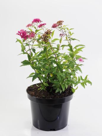 Spiraea japonica Froebelli (Tawuła japońska 'Froebelii')