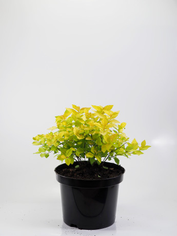 Spiraea japonica Golden Princess (Tawuła japońska 'Golden Princess')