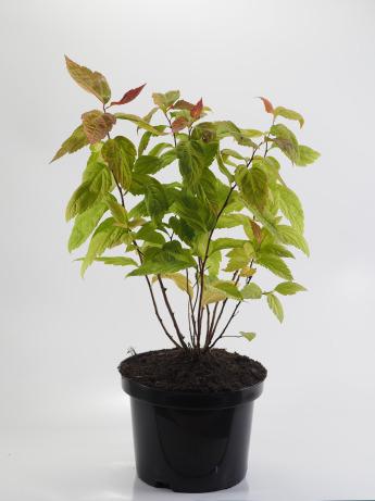 Spiraea japonica Macrophylla (Tawuła japońska 'Macrophylla')