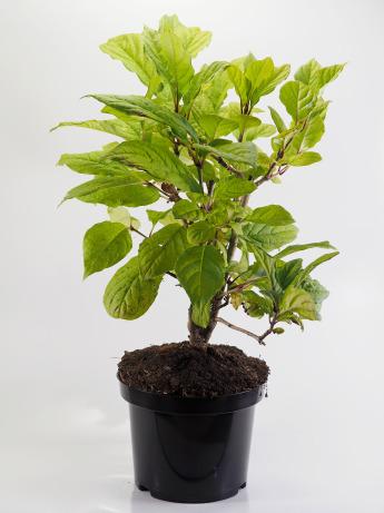 Syringa josikaea (Lilak węgierski)