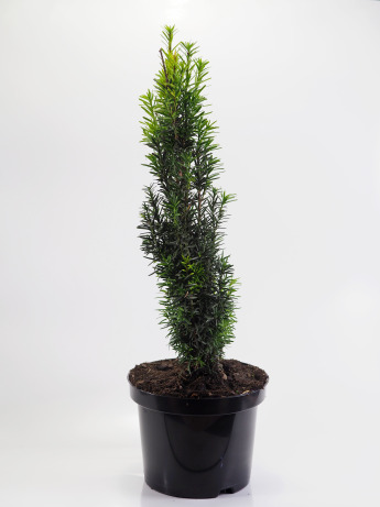 Taxus baccata Fastigiata (Cis pospolity 'Fastigiata')