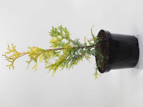 Thuja occidentalis Aurescens (Żywotnik zachodni 'Aurescens')
