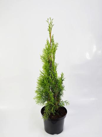 Thuja occidentalis Smaragd (Żywotnik zachodni 'Smaragd')