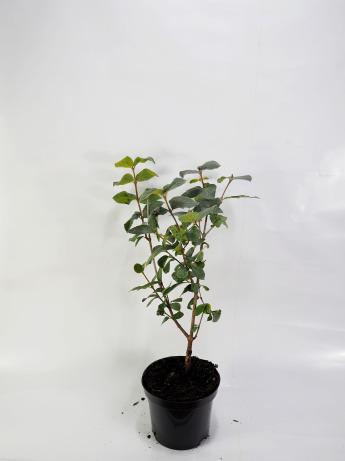Viburnum carlesii (Kalina koreańska)
