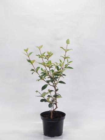 Viburnum pragense (Kalina 'Pragense')